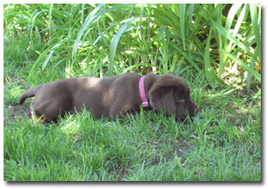 Colors - AKC Registered Labrador Retrievers :: Fox Red Labs