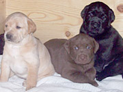 Fox Red Lab Puppies, Chocolate Lab Puppies, Black Lab Puppies
